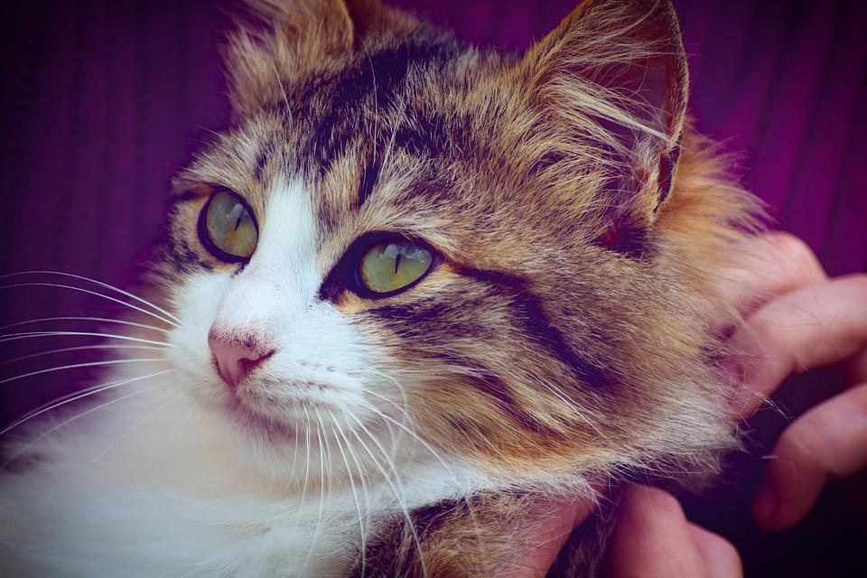 Mladý chlupatý kočička video