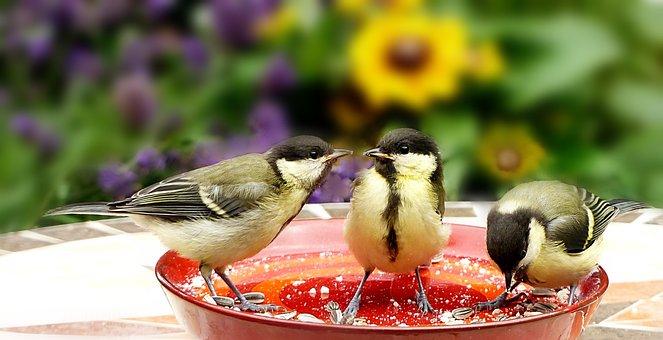 動物, 鳥, 鳴き鳥, 小, 乳首, シジュウカラ, つもおっぱい, 採餌