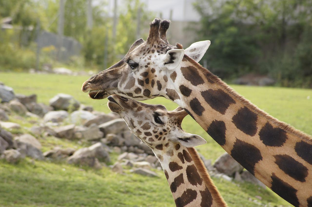 The male giraffe headbutts the female in the bladder until she urinates. The male then taste the pee to determine whether the female in ovulating.