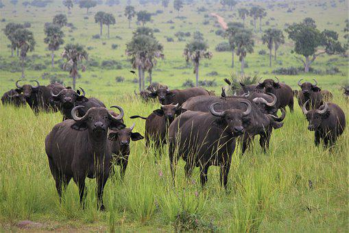 African, Buffalo, Heard, Big, Horns