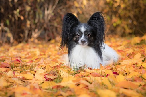 Miniature Papillon Puppies For Sale in North Dakota
