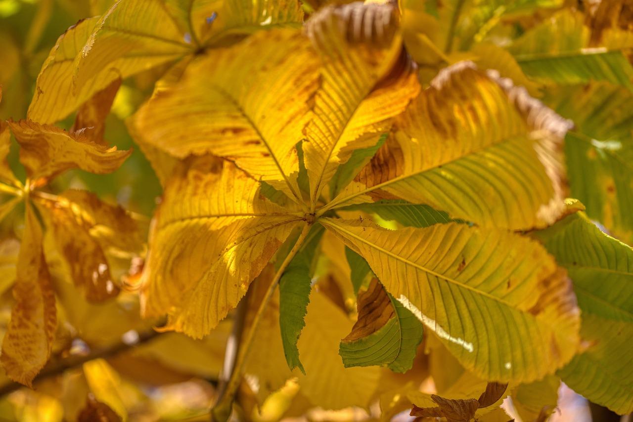 Каштан с листьями картинка