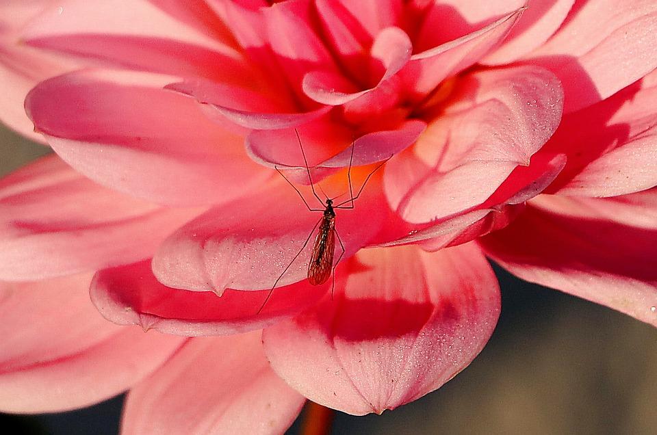 Dahlia, Insectes, Fermer, Macro, Moustique, Rose, Fleur