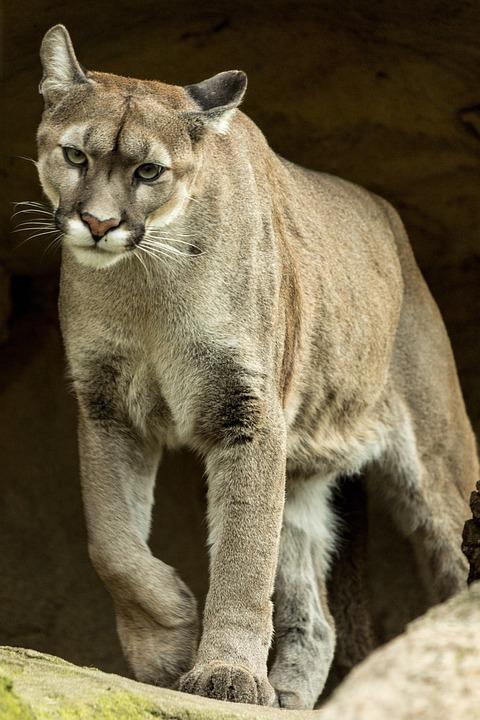Puma, Animal, Animal World, Nature, Mountain Lion, Wild