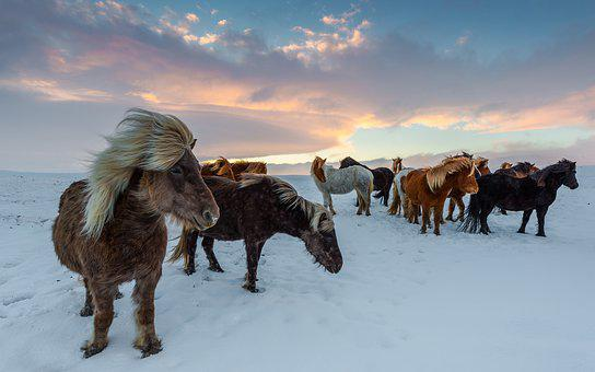 Iceland Horses, Winter, Frosty, Winidg