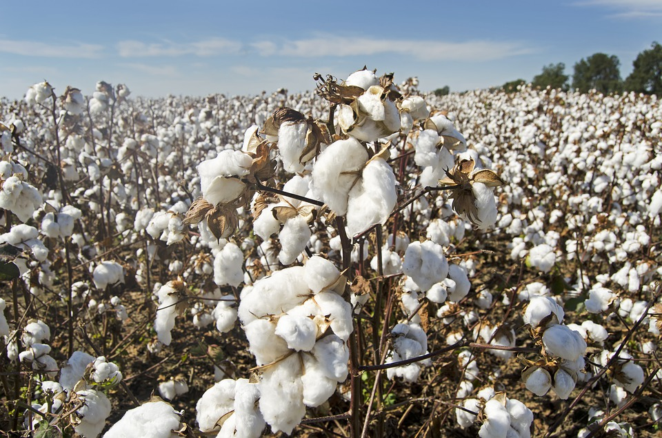 Cotton, Cotton Field, White, Farming, Agriculture, Crop