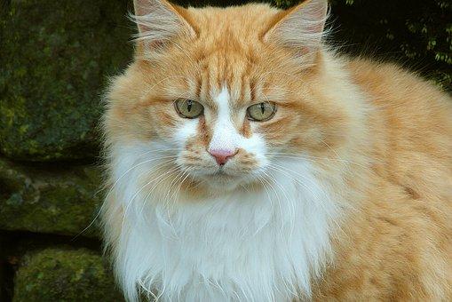 Katze, Vollblut, Pelz, Briten, Tiere