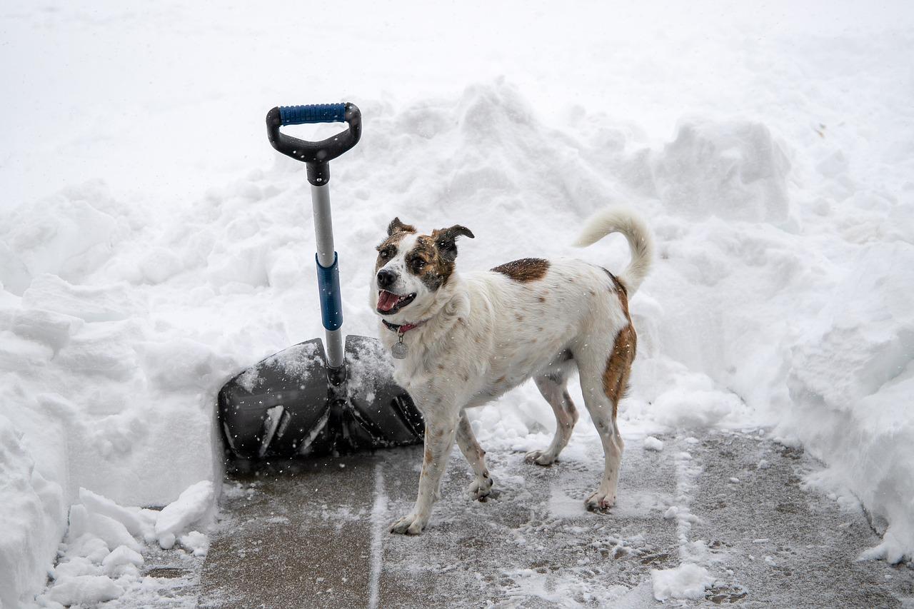 Snow Shovel Dog - Free photo on Pixabay