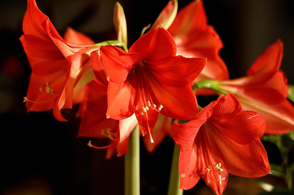 Flower, Petals, Blossom, Bloom, Early, Red Amaryllis
