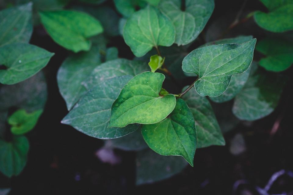 抗癌、治感冒、降火氣,中醫師解析「魚腥草」的 4 大功效