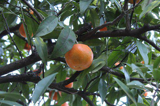Fruit, Tree, Tangerine, Autumn, Food