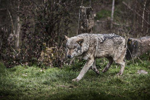 オオカミ, 森林, B, 自然, 動物, 野生, 野生動物, 肖像画, 黒い森