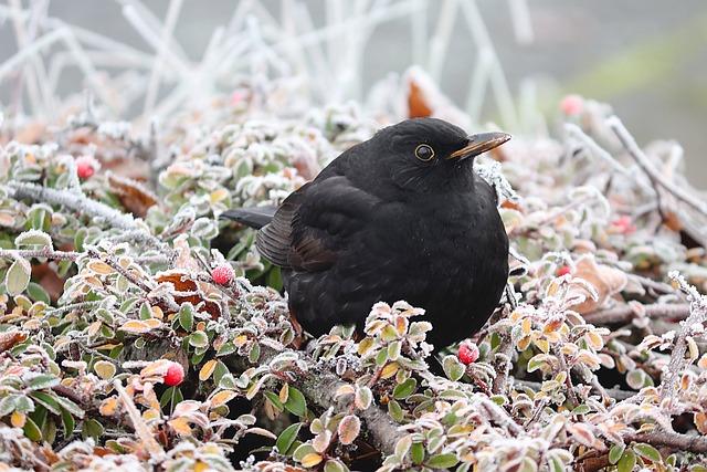 Blackbird, Bird, Winter, Hoarfrost, Hedge, Black