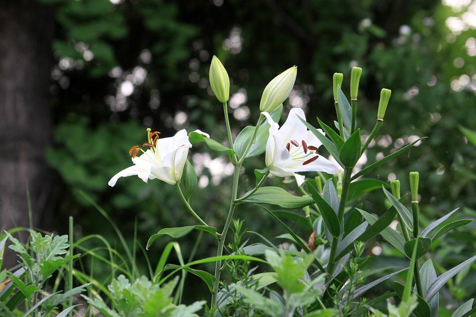 Bunga Bakung Liar Alam Foto Gratis Di Pixabay