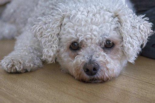 Dog, Bichon Frise, Bichon