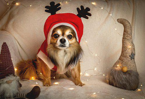 Chihuahua, Christmas, Dog, Small, Nice