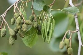 Black Alder, Tree Fruits, Alder