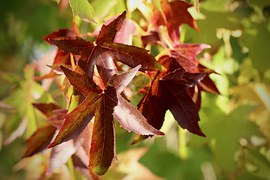 Fall Leaves, Amber Tree, Leaves