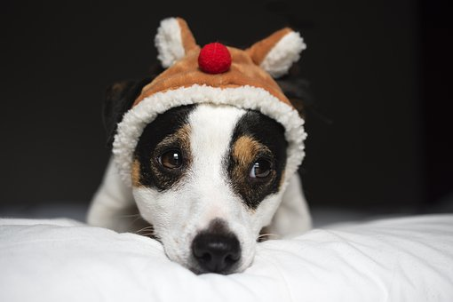 Jack Russel, Dog, Christmas, Look