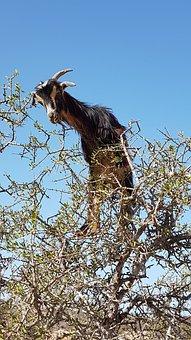Arganziege, Arganier, De Chèvre, Maroc