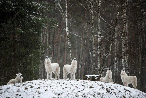 Polarwolf, Wolf, Wildnis, Weiß, Wald