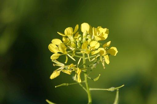 Gelbsenf, Moutarde, Fleur, Jaune, Nature
