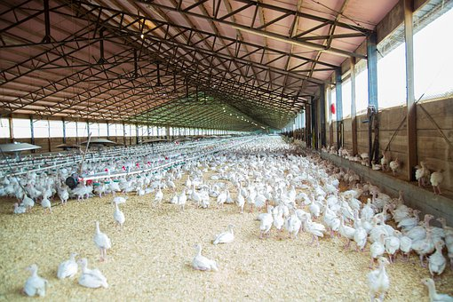Pollo, Granja, Las Aves De Corral