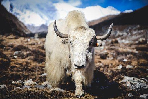 Yak Himalaya, Montañas, Animales