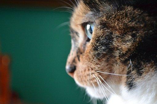 Katze, Porträt, Tier, Haustier, Pelz
