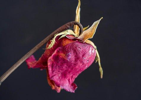 Flores, Rosas, Pétalas, Natureza, Roxo