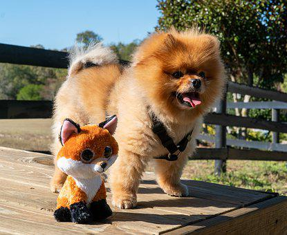 Cheap Pomeranian Puppies For Sale in California