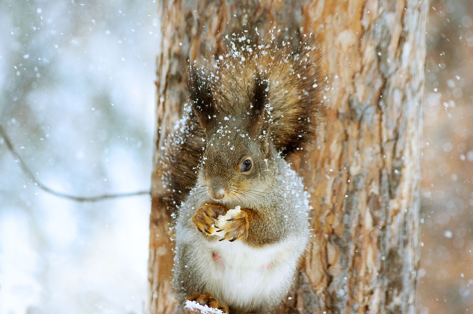 Jak pomóc wiewiórkom przetrwać zimę?