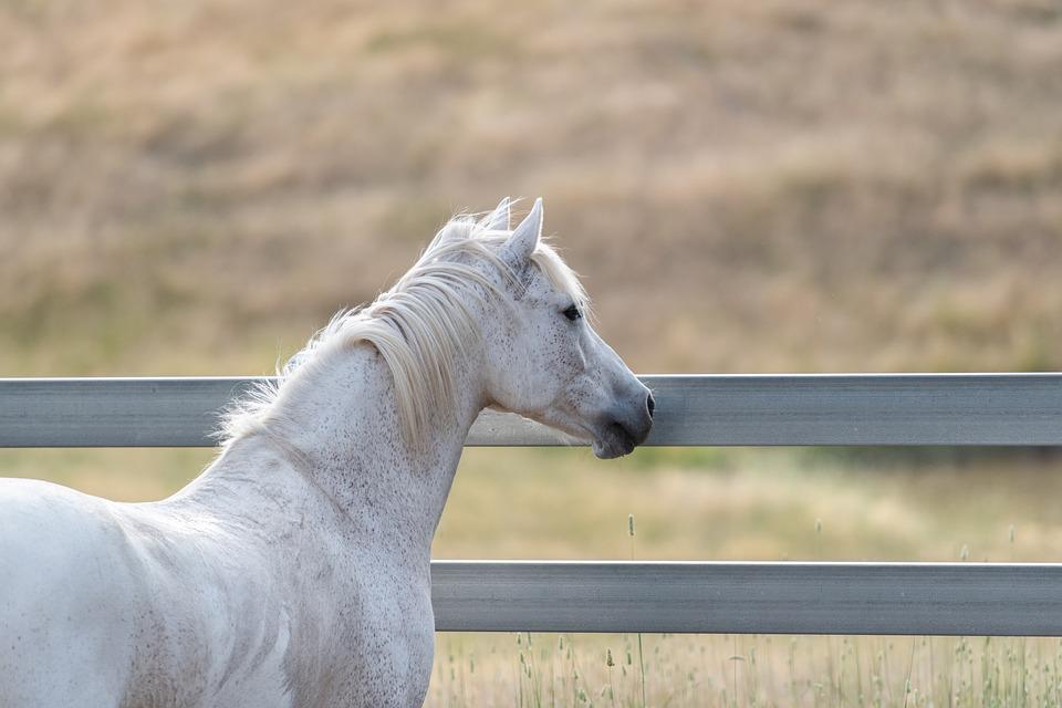 Kuda Australia Pony Abu Foto Gratis Di Pixabay