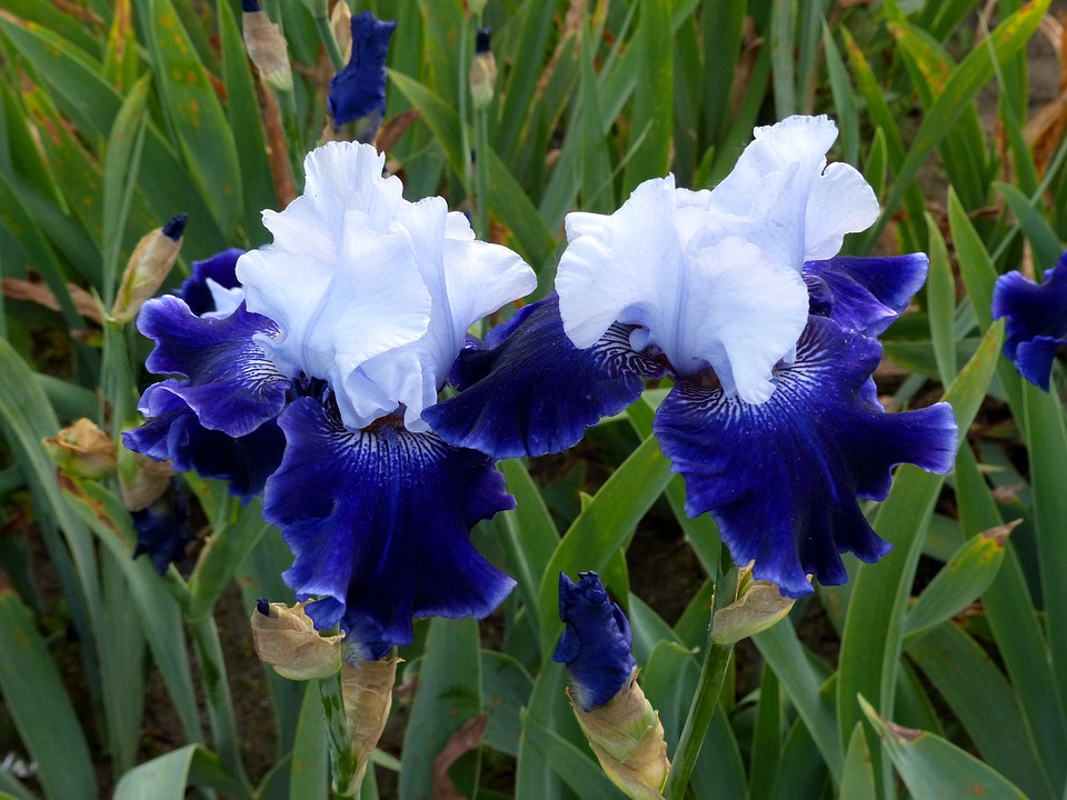 Iris Flower Irises Free Photo On Pixabay