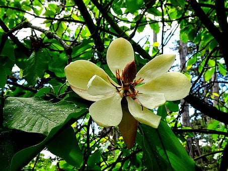 Magnolia Grandiflora, Magnolia, Trees