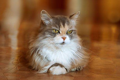 Katze, Pelz, Tiere, Furry, Hübsch