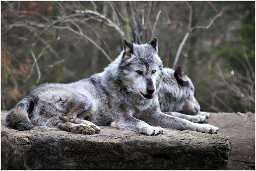 Wolf, Zoo, Tier, Hannover, Raubtier