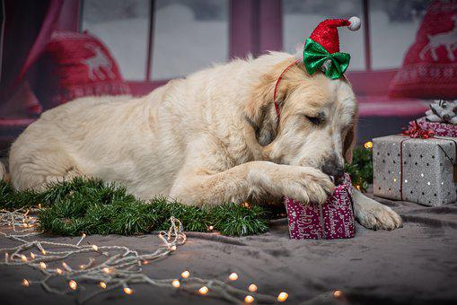 A dog opening a present