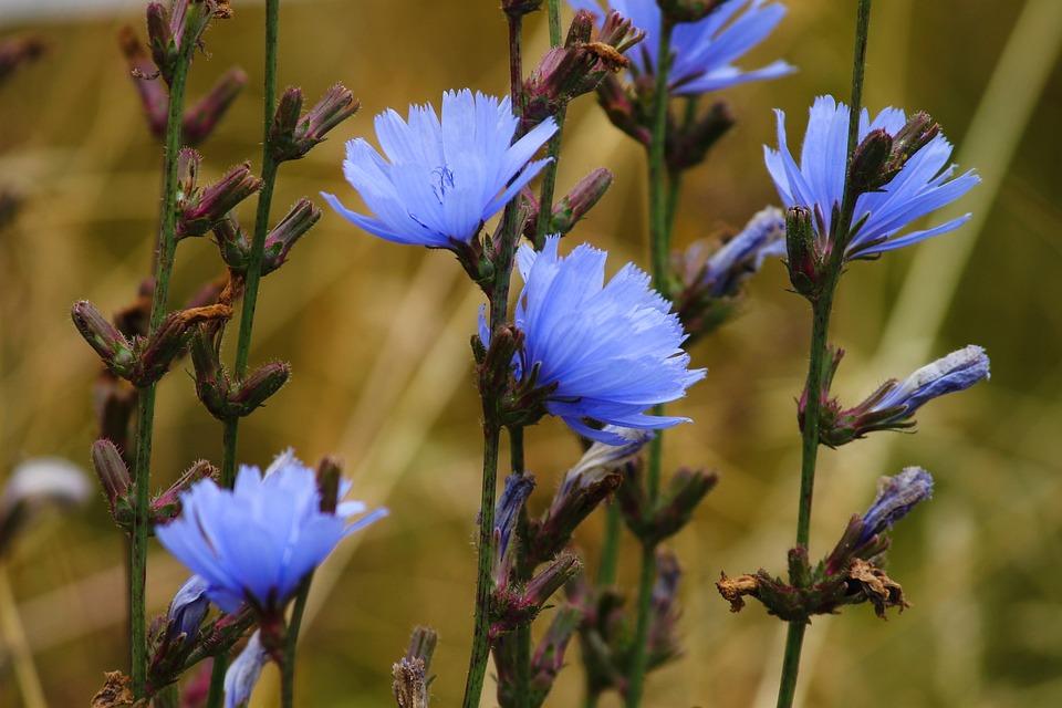 čakanka obyčajná, Viacúžitková čakanka obyčajná – superhrdinka medzi bylinami?