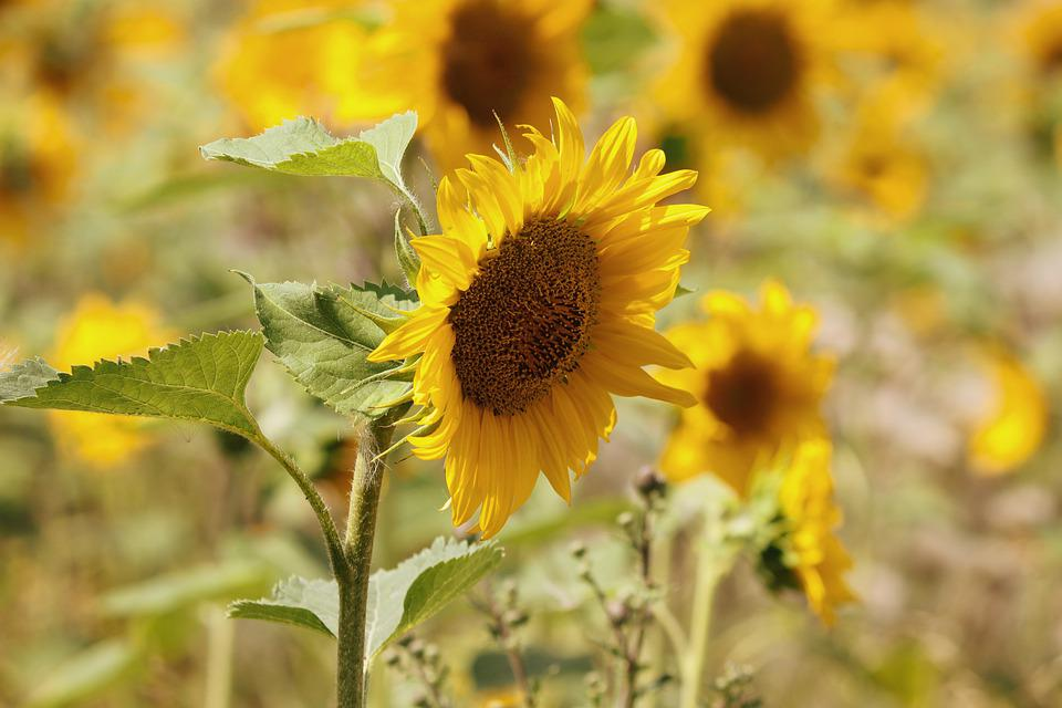 Bunga Matahari Bidang Foto Gratis Di Pixabay