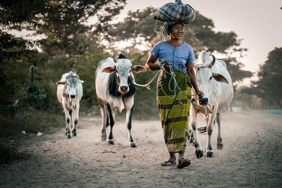Myanmar, Woman, Cow, Female, Happy, Outdoor
