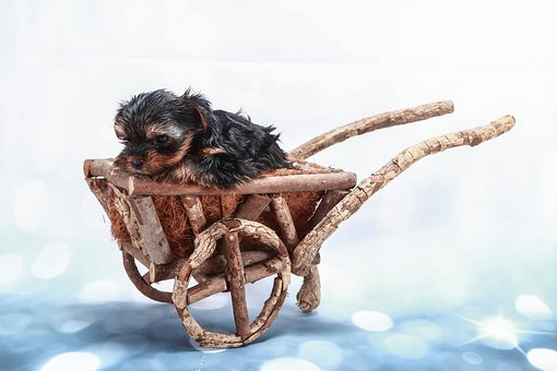 Ornamentation, Yorkie, Dog, Stroller