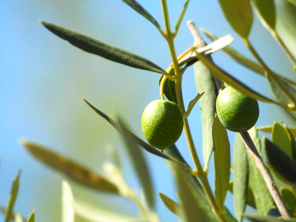 Olive, Olivier, Olives, Vert, Plantes, Nature, Feuilles