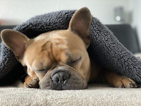 フレンチ ブルドッグ, 犬, 動物, 睡眠, 毛布, ソファ, 疲れた