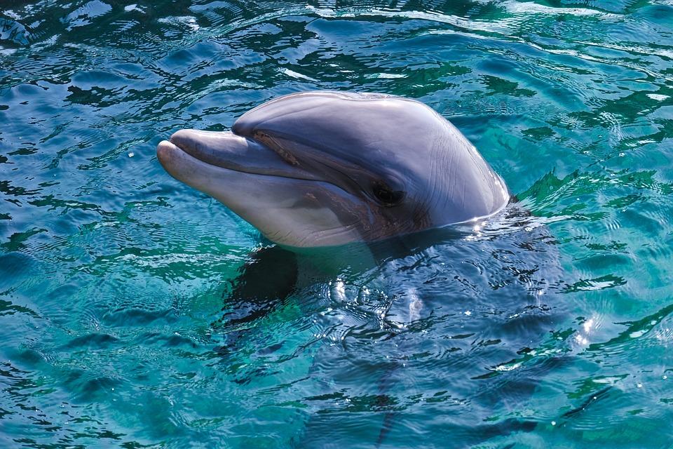 Dolphin, Bottlenose Dolphin, Red Sea, Sea, Delphinidae