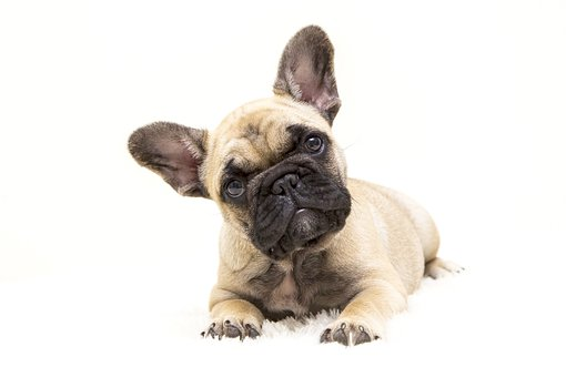 Dogs, The French Bulldog, Dog, Tough