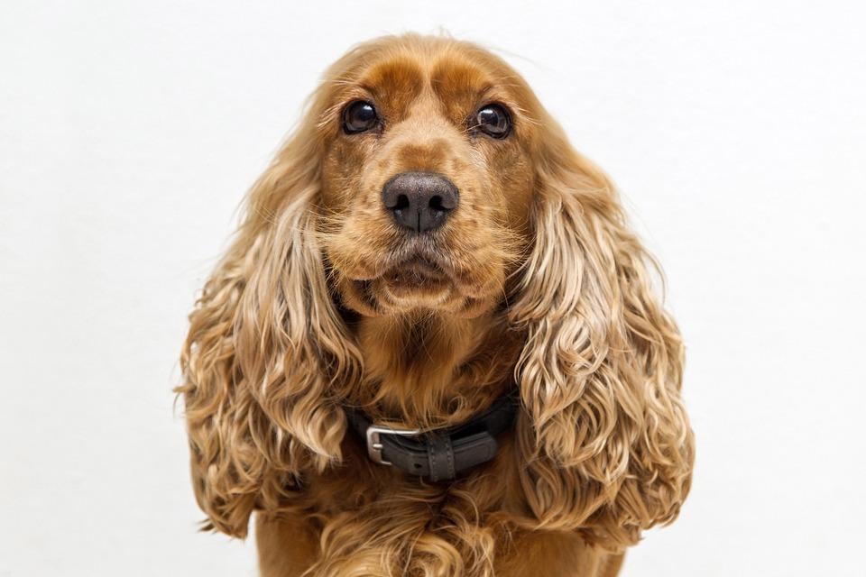 razas de perros medianos