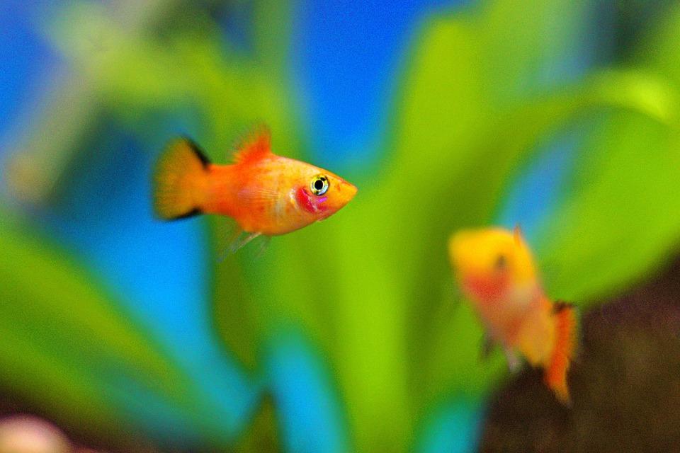 Fish Platy Aquarium - Free photo on Pixabay