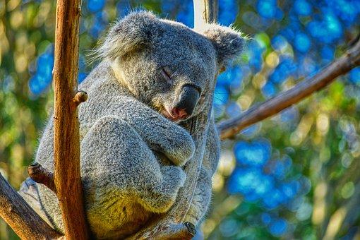 Koala, Des Animaux, L'Australie, Nature