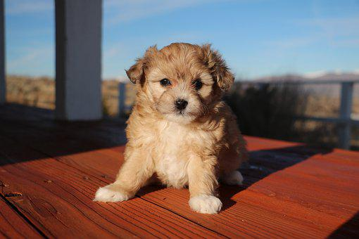 Aussiedoodle, Puppy, Cute, Young, Hybrid